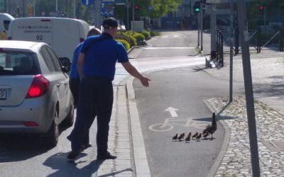 Kaczki zablokowały ruch Wrocław